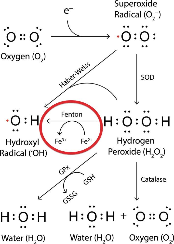 Trist et al Figure 1 (Modified): How Iron Participates in Oxidative Stress